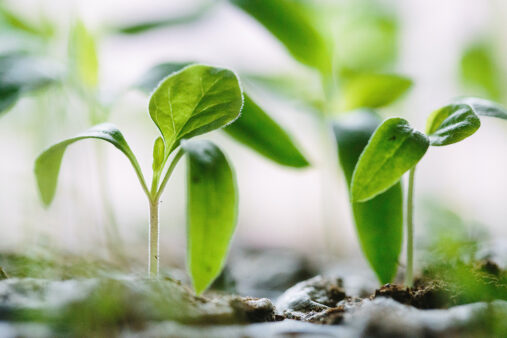 Vihreät kasvin versot nousevat maasta.