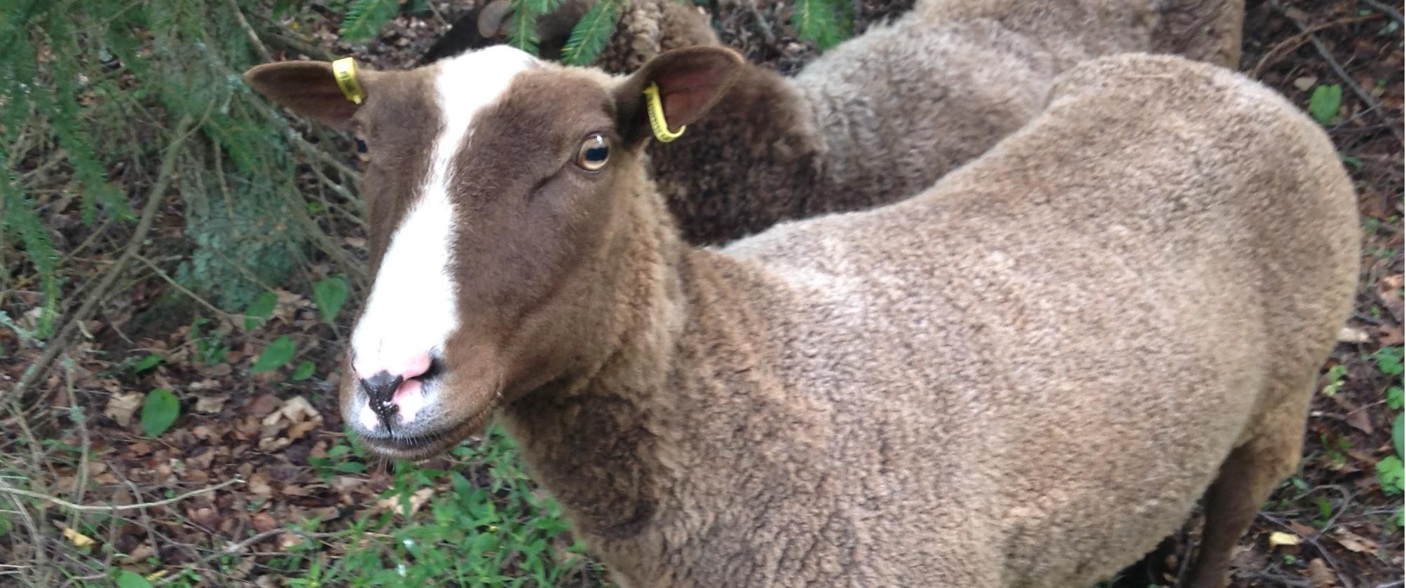 Ruskeavalkoinen lammas, jolla merkinnät korvissa.