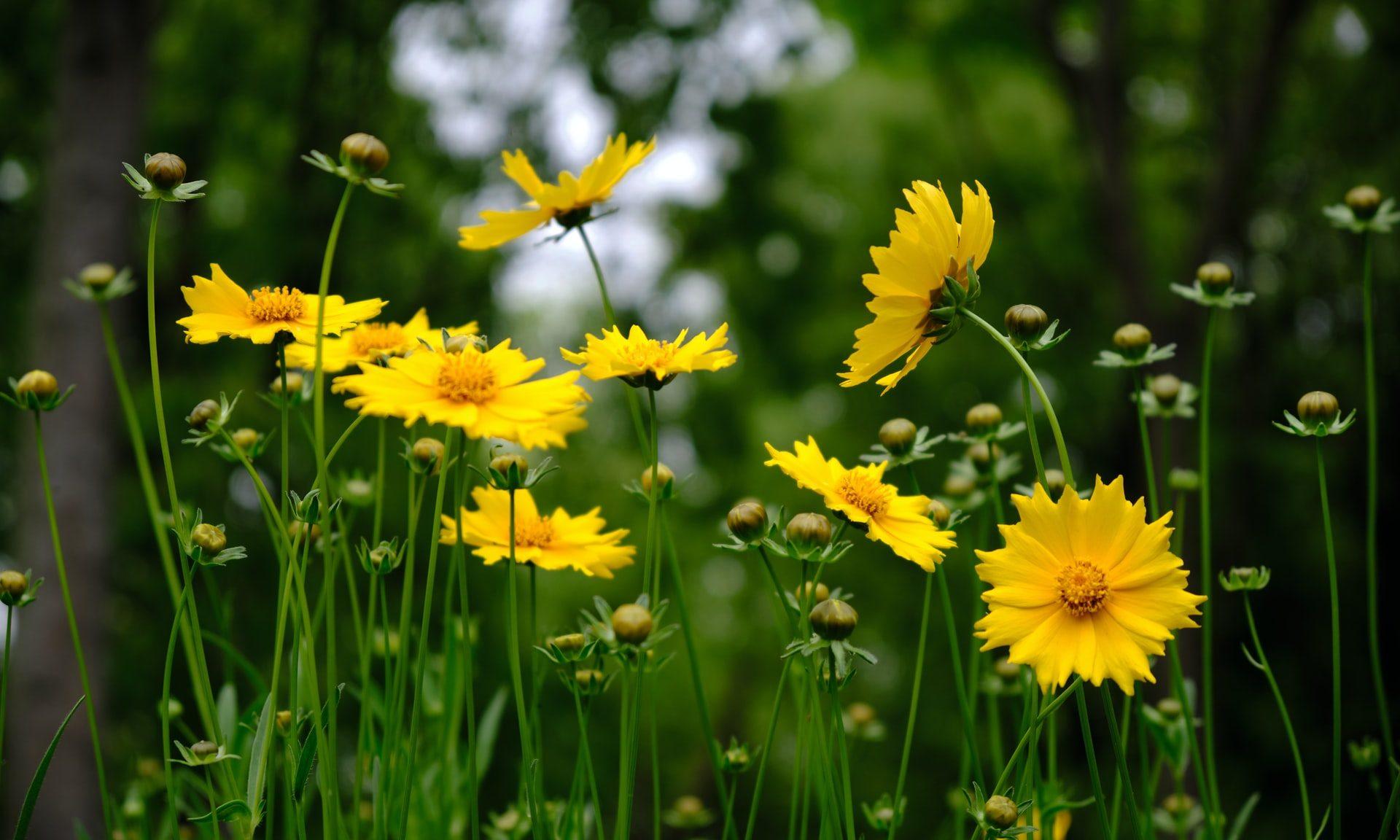 Keltaisia kukkia niityllä